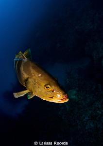 Hanging out with a friendly Nassau Grouper in Little Cayman. by Larissa Roorda